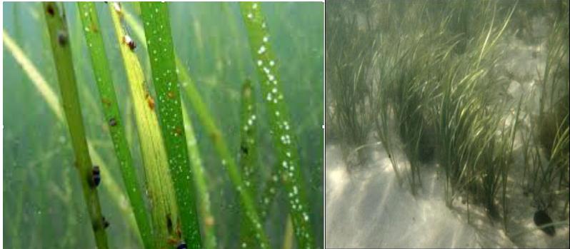 Eel Grass:    Zostera marina