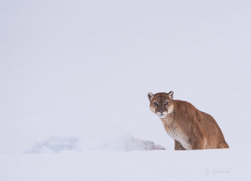 I believe the cougar has buried his kill under the bank of snow visible in front of him, either an elk or a Bighorn Sheep.