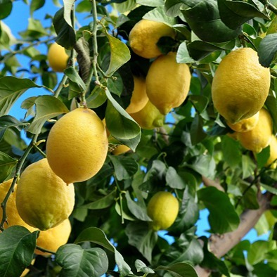 San Diego County friends - do you have a lemon tree (non-meyer) in your backyard that is chock full of lemons that you don't know what to do with? I'm in need of 10-15ish lemons for a recipe and would prefer to use homegrown instead of store bought. Send me a msg if you do!