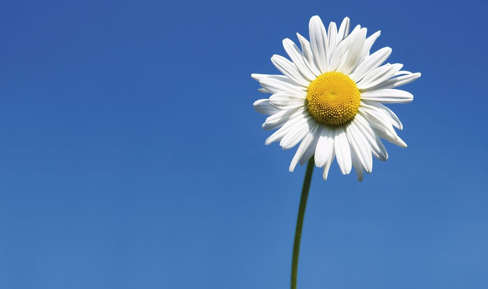 flowers-single-flower-daisy-nature-white-daisies-wallpaper-nexus.jpg