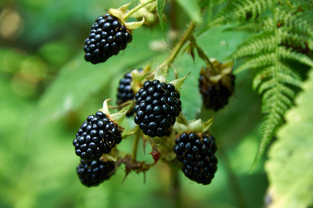 agrestic-blackberries-48231412.jpg