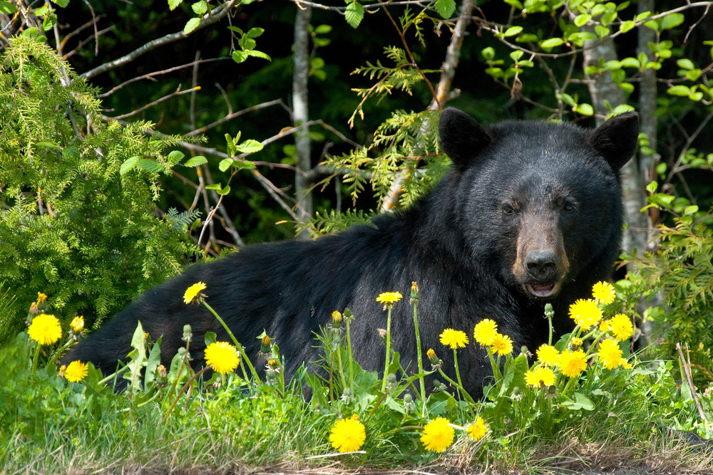 black-bear-in-wilderness-19736923.jpg
