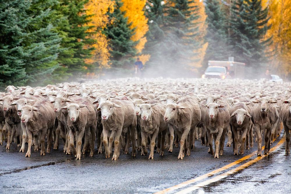 photo via Trailing of the Sheep Festival