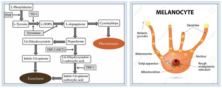 melanocyte