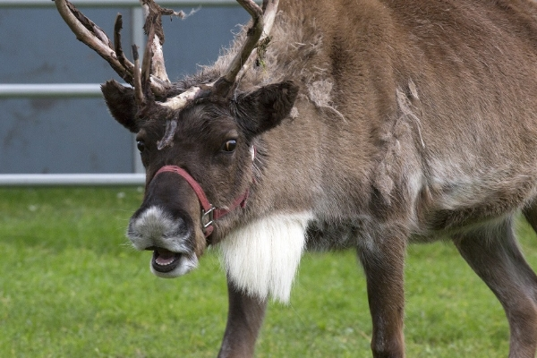"""I Googled """"Marcel The Reindeer"""". He must be in mid-song."""