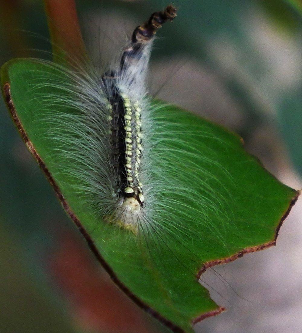Leaf Skeletonizer - Somers, Australia