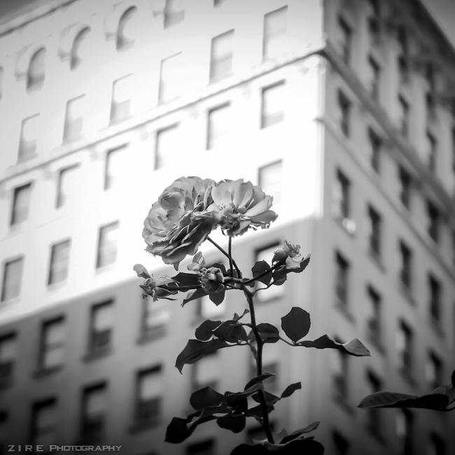 ZPG-Flower in Brooklyn-web