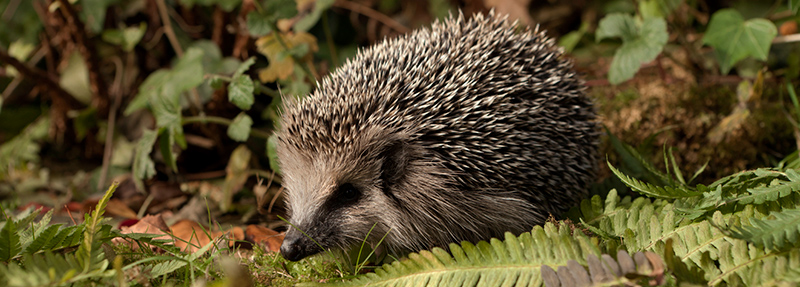© Copyright - The British Hedgehog Preservation Society