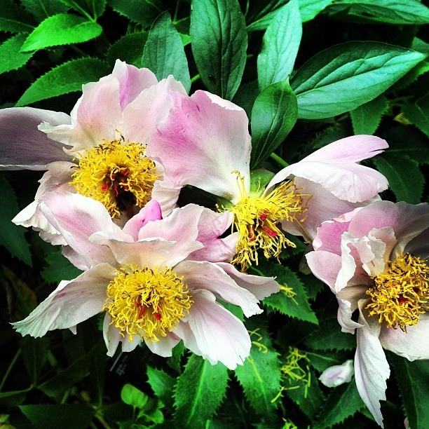 Oh @kewgardens! You're so beautiful! Even the bees love you. Helleborus argutifolius.