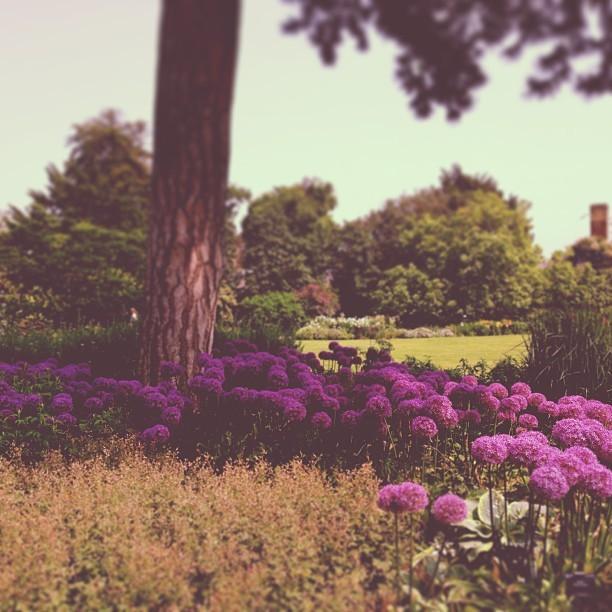Taking a lunchtime stroll amongst the Allium's in the Duke's Garden @kewgardens.
