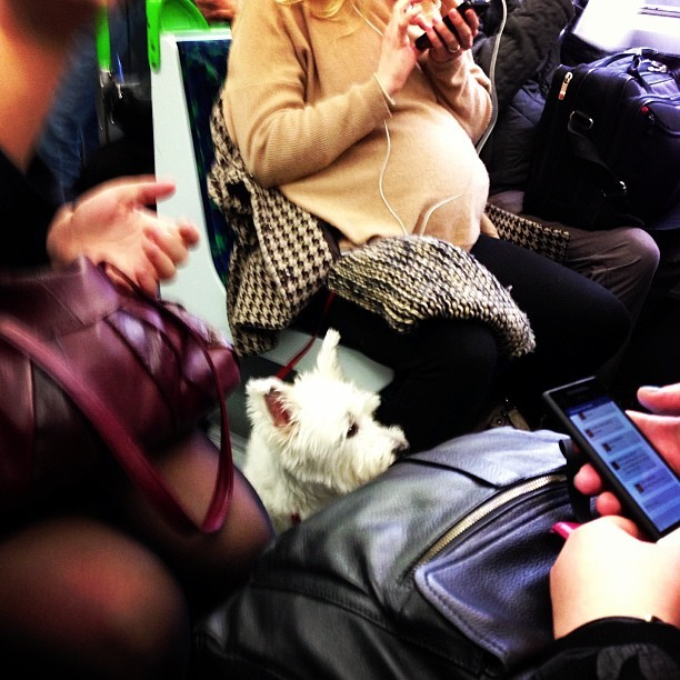 Cute little Scottie dog on the tube this morning @dogsontrains. Reminded me of @jmgcreative's old dog, Jess.