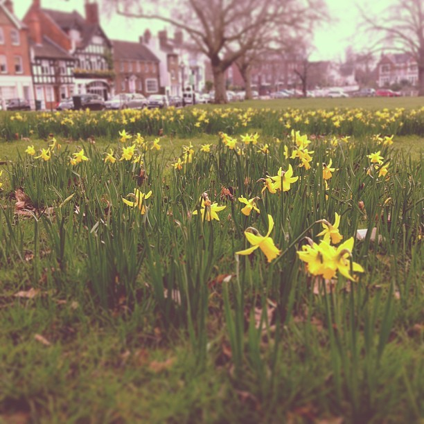 A host of golden daffodils, Kew Green. #places #flowers