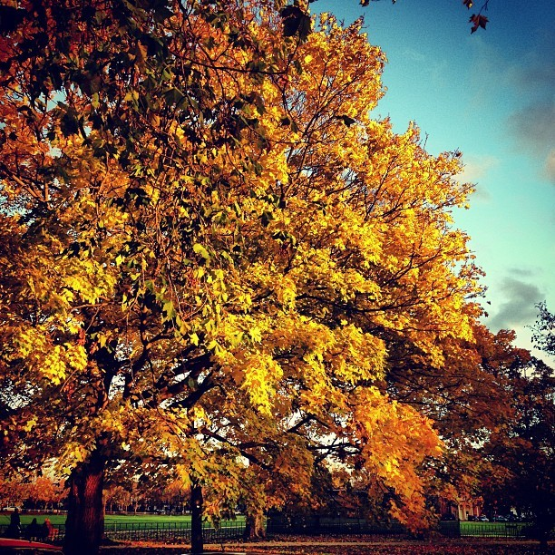 Stunning golden trees on Kew Green @kewgardens. #photography #nature #autumn #colour