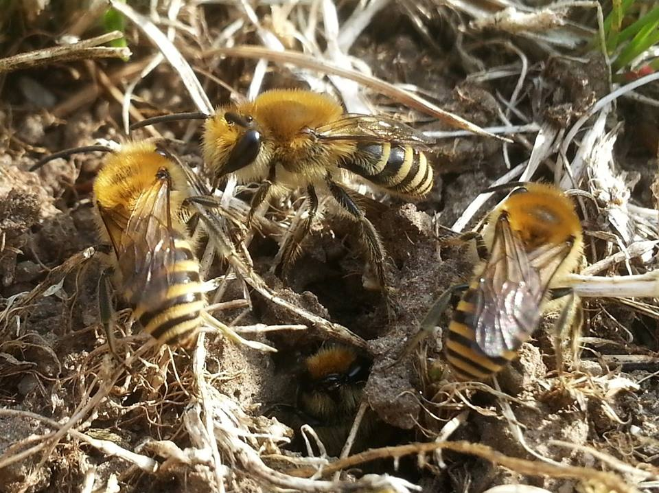 Ivy Bees (Colletes hederae)