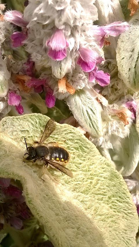 Anthidium manicatum (The Wool Carder Bee)