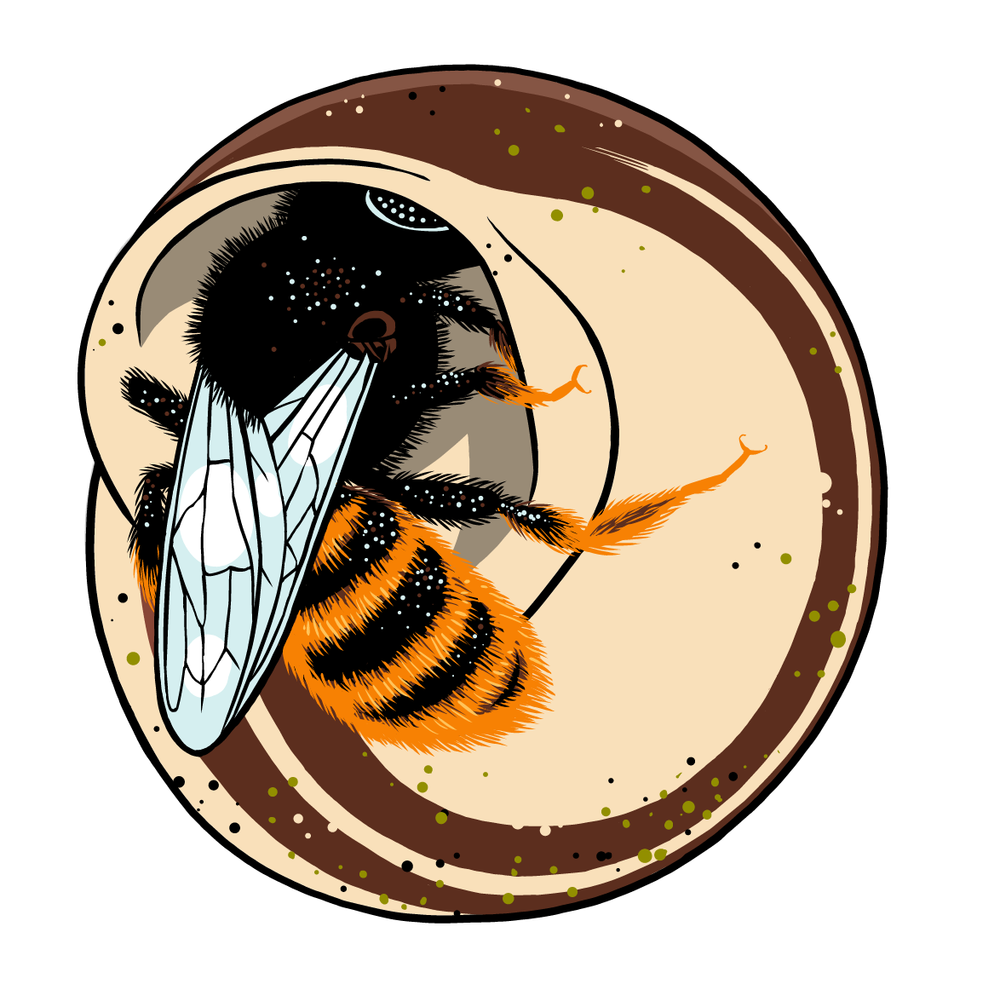 Osmia bicolor.png