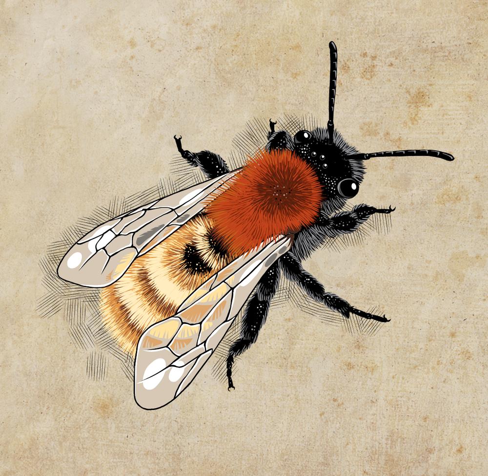 Andrena fulva.png