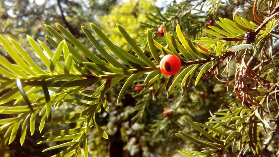 Yew berry.jpg