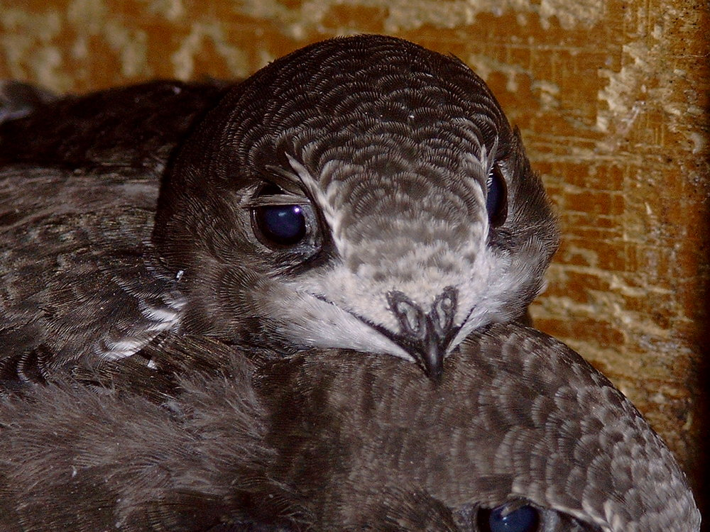 23 day old Swift in the nest - Photo by Ulrich Tigges