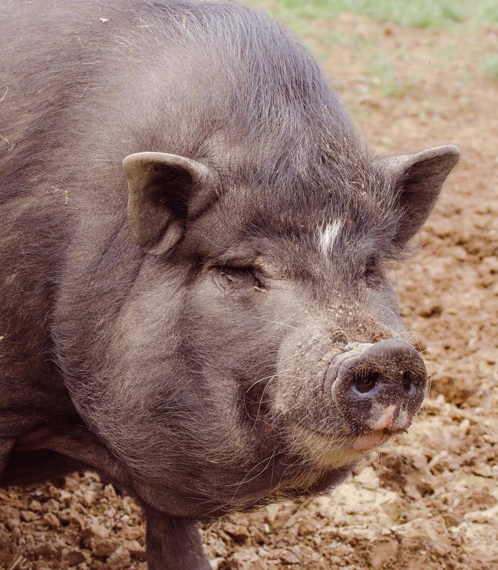 notorious PIG_.jpg