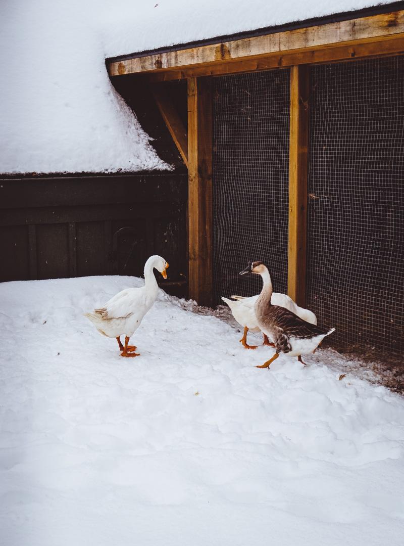 langdon-hall-ducks.jpg