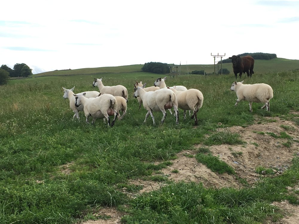 sheep pasture in Galashiels