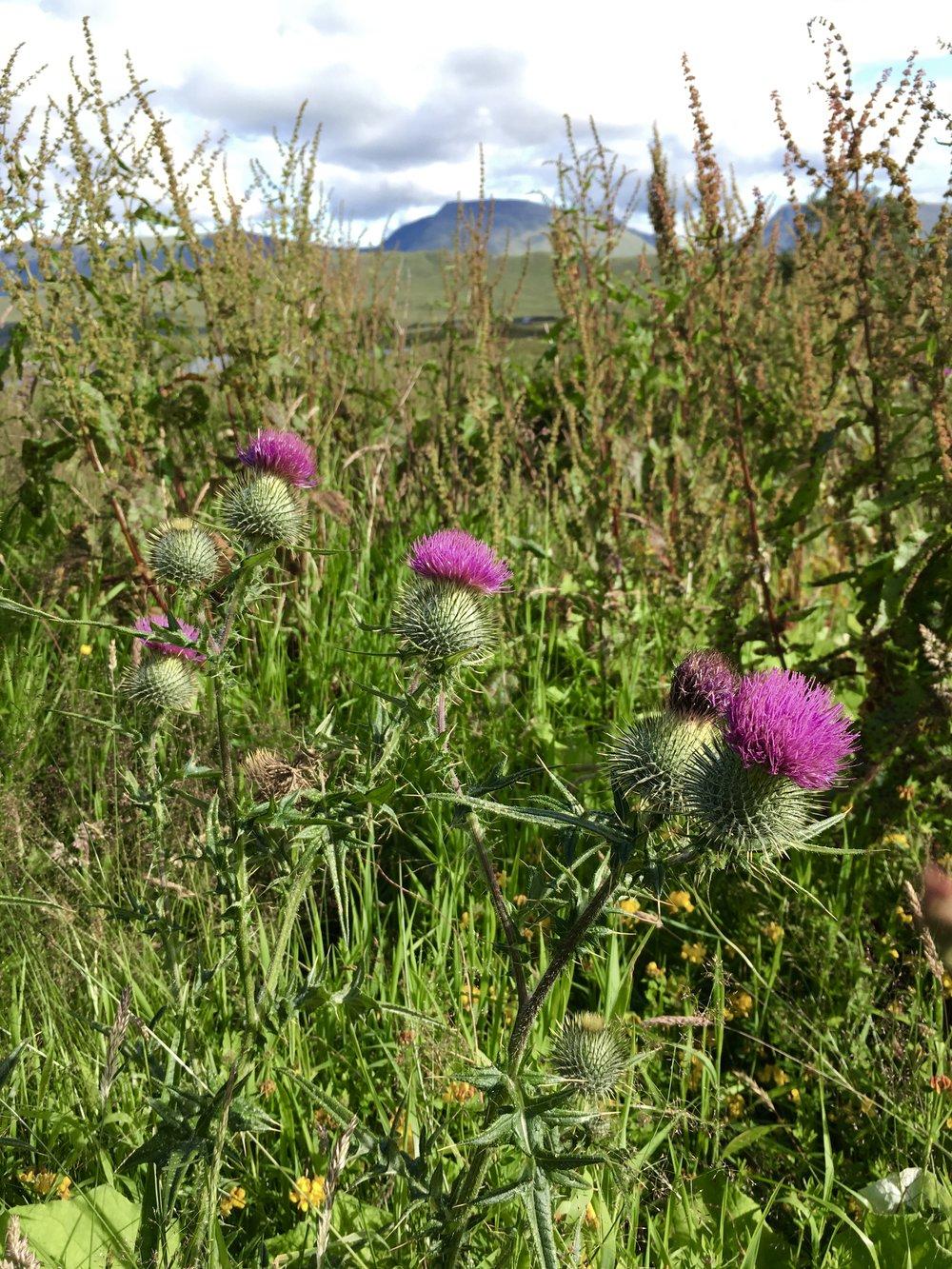 Thistle, national flower of Scotland