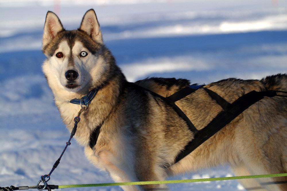 Guldmyrens Joma (e: Guldmyrens Egil - Vindsnabbes Pärlan) Vår första siberian husky