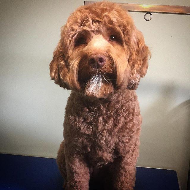 Penny all tidied up! - - - - #instadog #dogsofinstagram #doggrooming #glenora #westmount #northglenora #yegdogs #pawsitivepetsyeg #yegpets #yeg #yeggrooming