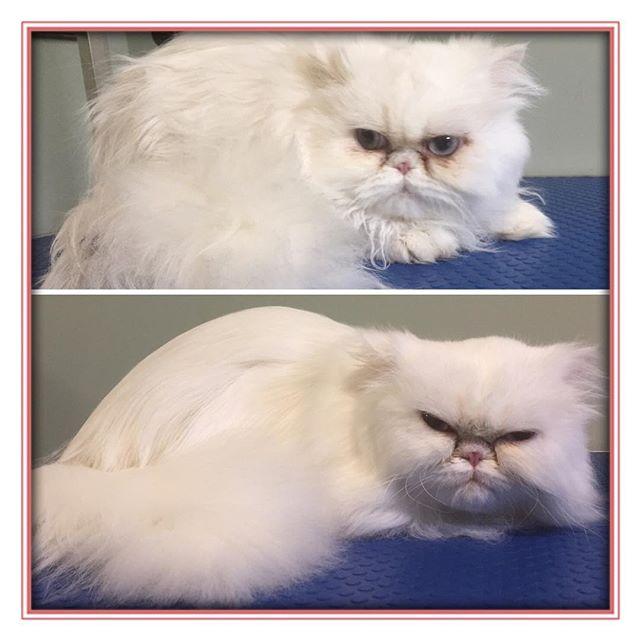 Pam before and after.  Love this kitty! 😍 - - - - #glenora #westmount #northglenora #yegdogs #pawsitivepetsyeg #yegpets #yeg #yeggrooming  #yegcats #catsofinstagram #catgrooming #persian #cats