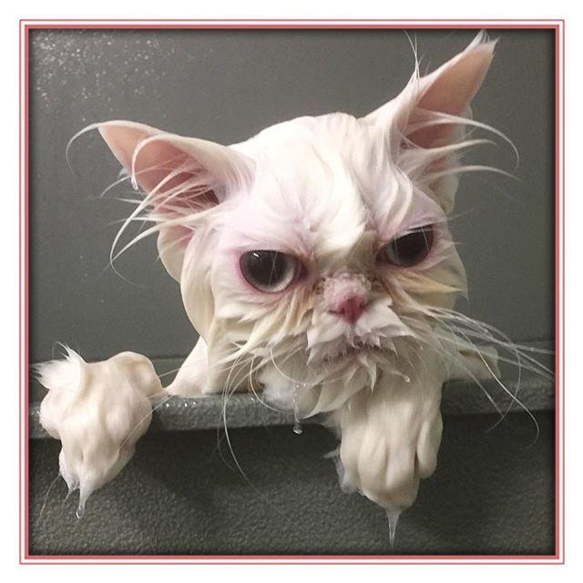 Pam wasn't super impressed that I had to wash her face too today. - - - - - #glenora #westmount #northglenora #yegdogs #pawsitivepetsyeg #yegpets #yeg #yeggrooming  #yegcats #catsofinstagram #persian #catgrooming #cat