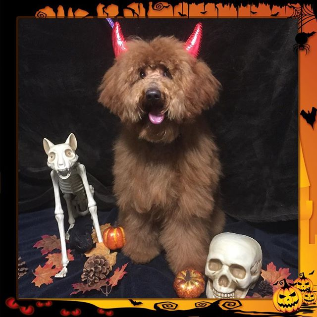 Boo!  Yogi is ready to trick or treat, though he mostly wants treats... - - - - #instadog #dogsofinstagram #doggrooming #glenora #westmount #northglenora #yegdogs #pawsitivepetsyeg #yegpets #yeg #yeggrooming  #doodles #halloween #spooky