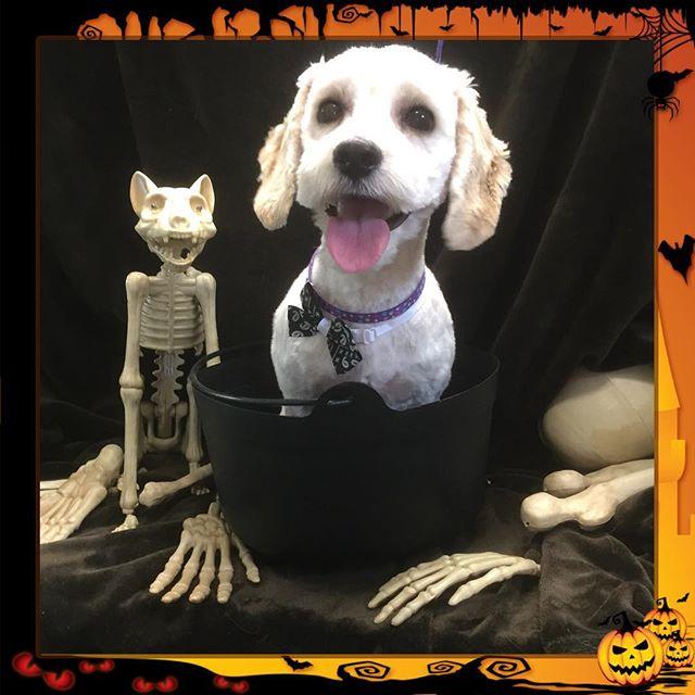 I don't think Buddy is quite done yet. 👻 - - - - #instadog #dogsofinstagram #doggrooming #glenora #westmount #northglenora #yegdogs #pawsitivepetsyeg #yegpets #yeg #yeggrooming #stew  #spooky #halloween