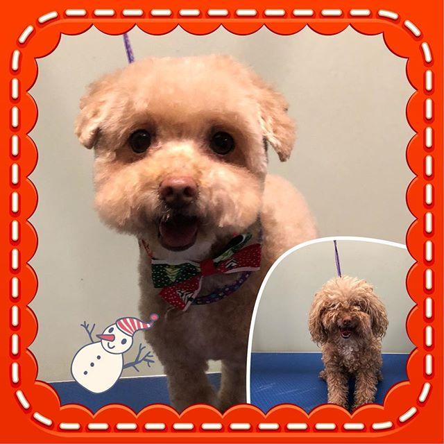 Miss Molly ❤️ - - - - - #instadog #dogsofinstagram #doggrooming #glenora #westmount #northglenora #yegdogs #pawsitivepetsyeg #yegpets #yeg #yeggrooming