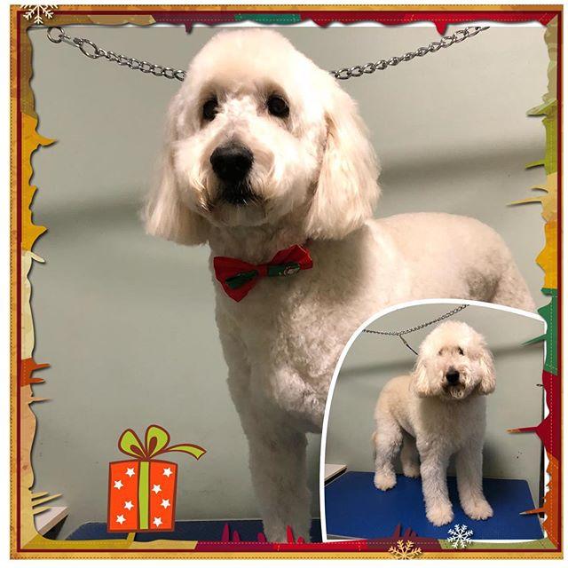 Olivia ❤️ - - - - #instadog #dogsofinstagram #yeg #yeggrooming #northglenora #westmount #doodles #doggrooming #yegpets