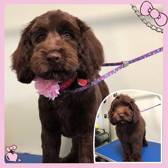 Rosie's first haircut 💕 - - - - #instadog #dogsofinstagram #doggrooming #glenora #westmount #northglenora #yegdogs #pawsitivepetsyeg #yegpets #yeg #yeggrooming