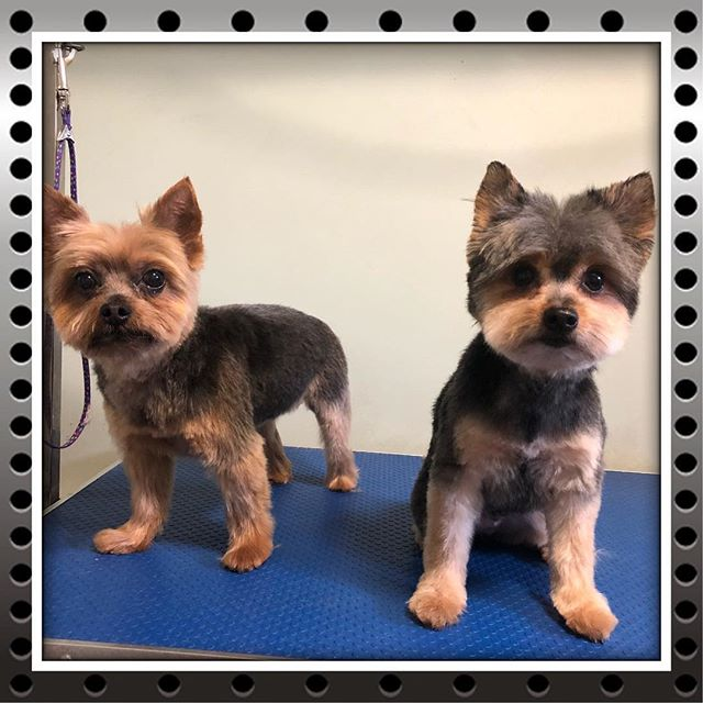 Cooper and Bentley are about to drop their first album! - - - - #instadog #dogsofinstagram #doggrooming #glenora #westmount #northglenora #yegdogs #pawsitivepetsyeg #yegpets #yeg #yeggrooming  #yorkie