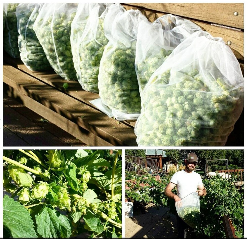 Aug 22  |  Harvesting our homegrown Chinook hops!