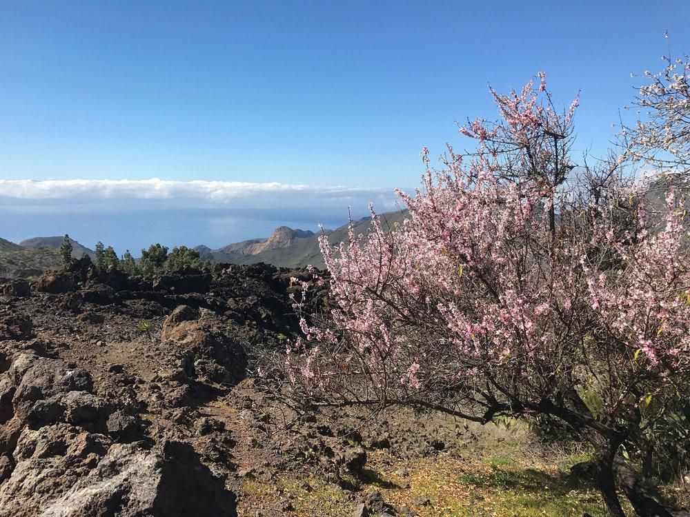 almendros_en_flor_Tenerife3.jpg