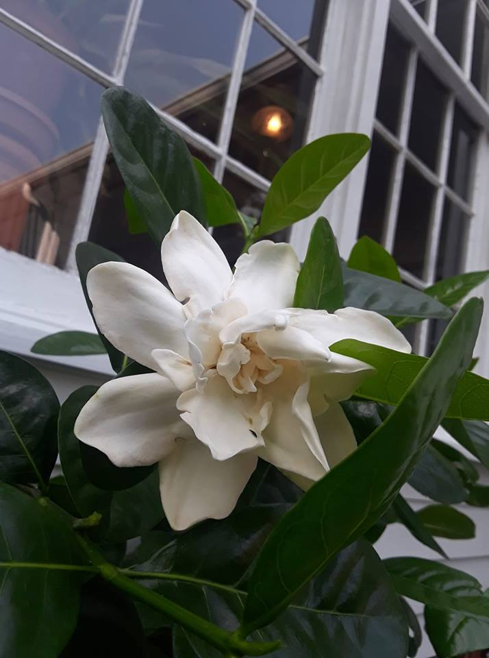 A huge and fragrant Tahitian Magnolia at Oak Hill.Photo courtesy of Historic Oak Hill and Doug Mauro.