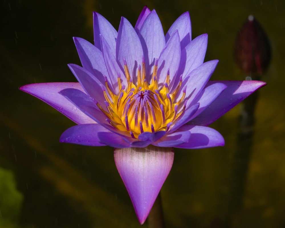Take a stroll through Oak Hill's gardens to discover water features teeming with rare and exotic water lilies! Photo courtesy of Historic Oak Hill and Doug Mauro.