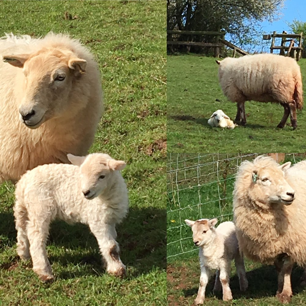 We keep a flock of Welsh and Welsh cross sheep, a small herd of Dexter cattle, Oxford Sandy and Black pigs, Boer cross goats, four horses and a selection of geese, ducks and ex-battery hens - who go on to live a happy and productive life with us.