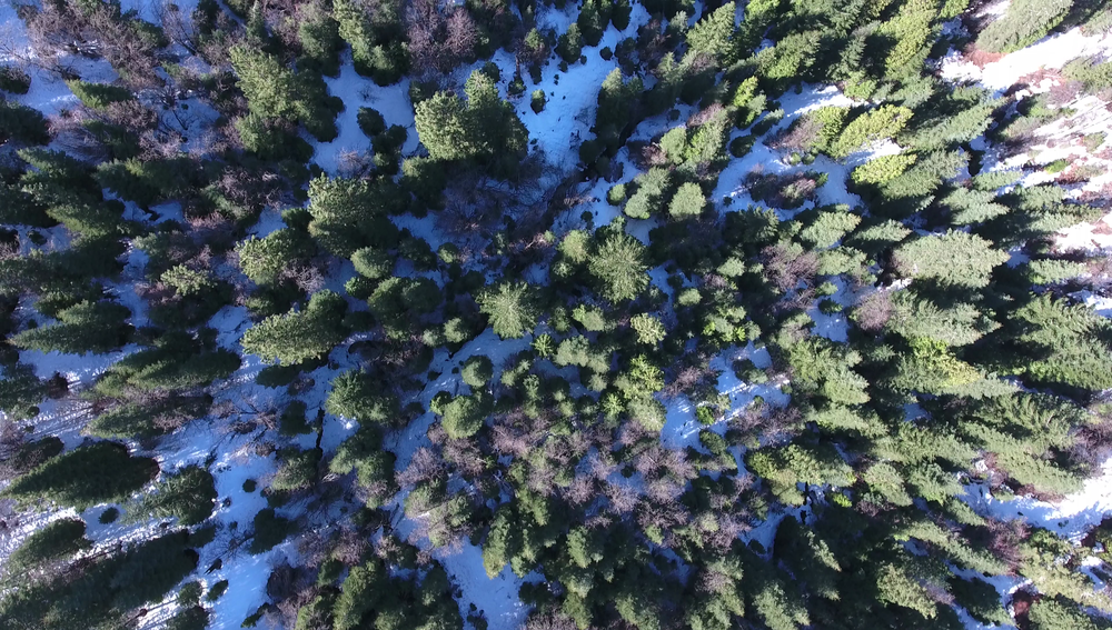 Tops of Pines.png