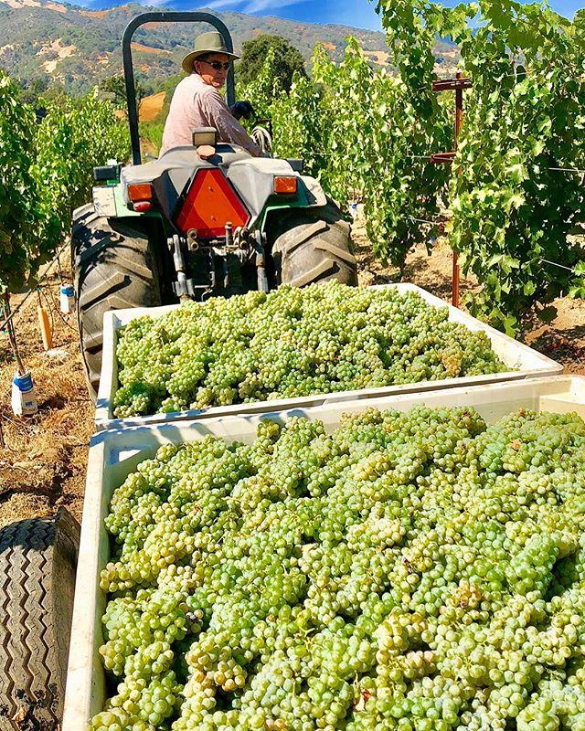 The 2018 harvest begins! #hopland  #harvest #grapes  #vineyard  #familyfarm #sauvignonblanc  #suttonsuzukiinspirations  #suttonsuzukiarchitects