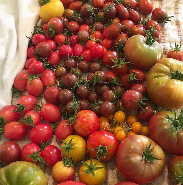 Summer Bounty!! . . . . . #tomatoes  #harvest  #garden #instafood #suttonsuzukiinspirations  #suttonsuzukiarchitects