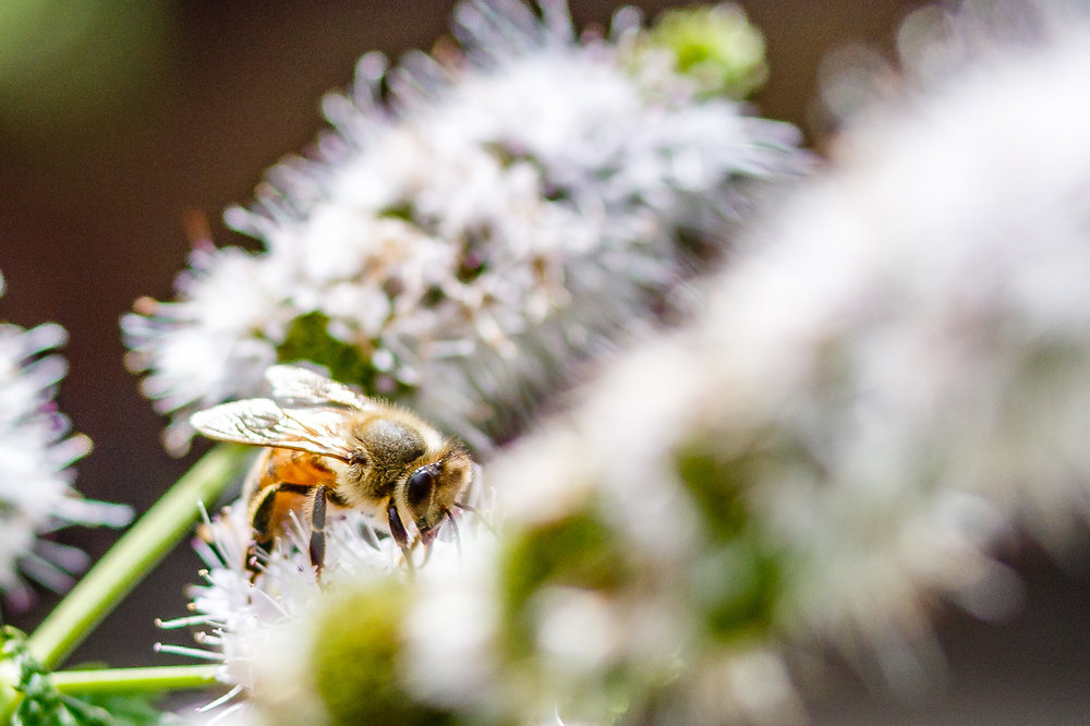 Bee on Mint