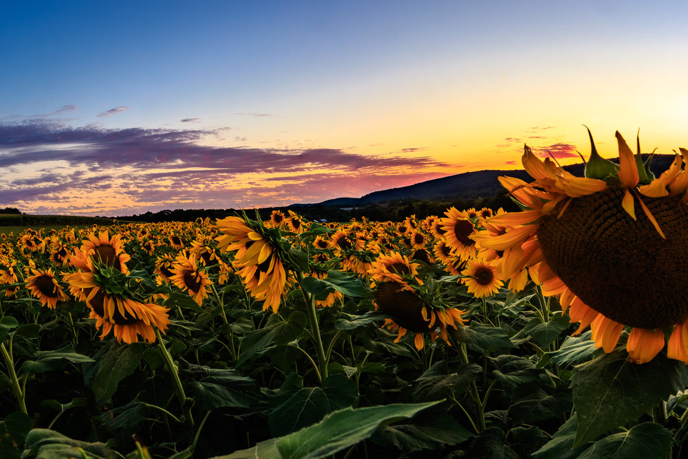 Sunflowers at Sunset  Taken with: Canon 7D Mark II w/ Canon EF-S 17-55mm f/2.8 @ 17mm, f/16, 1/13s, ISO 100