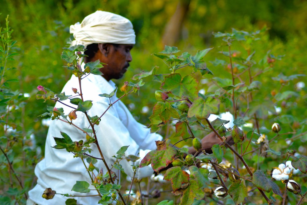 Cotton Plucking.jpg