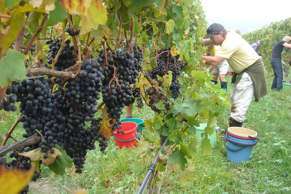 Grape Harvesting_1500.jpg