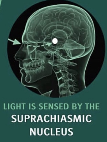 Image 2 - The Suprachiasmic Nucleus (Source: Science for Sport)
